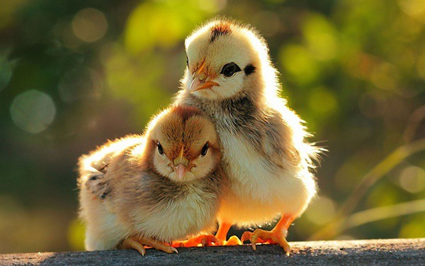 40 Funny and Cute Ideas Of Chicken Pictures 13
