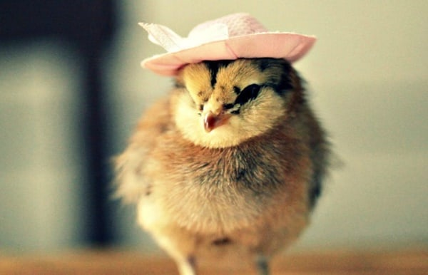 40 Funny and Cute Ideas Of Chicken Pictures 17