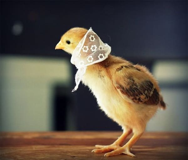 40 Funny and Cute Ideas Of Chicken Pictures 19