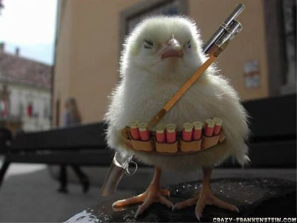 40 Funny and Cute Ideas Of Chicken Pictures 2