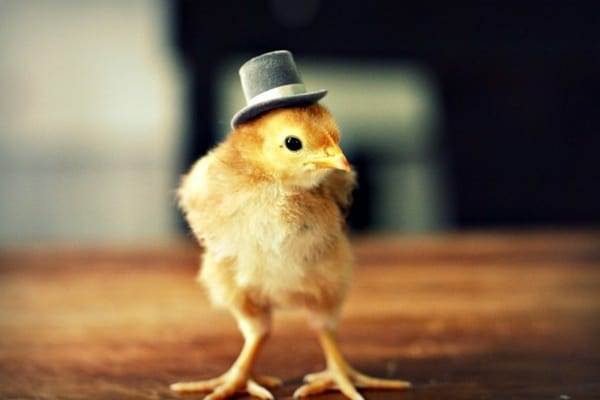 40 Funny and Cute Ideas Of Chicken Pictures 28