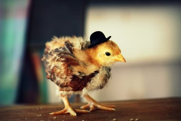 40 Funny and Cute Ideas Of Chicken Pictures 29