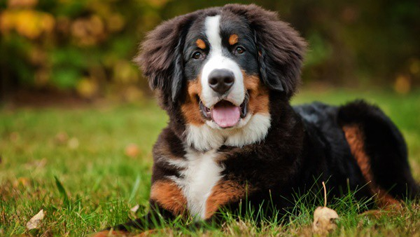Top 10 Mountain Dog Breeds 6
