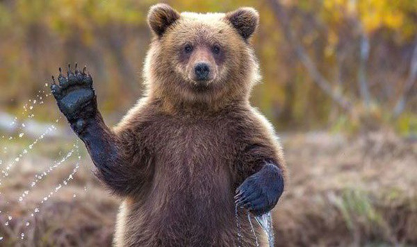 20-fun-facts-about-grizzly-bears-2