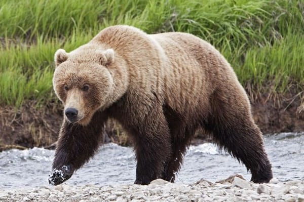 20-fun-facts-about-grizzly-bears-3