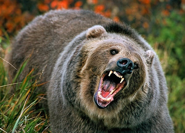 20 Fun Facts about Grizzly Bears - Tail and Fur - photo#26