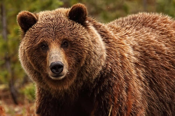 20-fun-facts-about-grizzly-bears-5