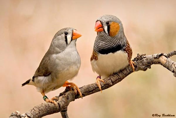 25-interesting-zebra-finches-facts-1