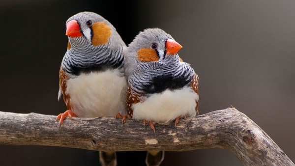25-interesting-zebra-finches-facts-2