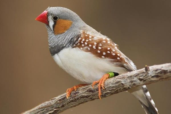 25-interesting-zebra-finches-facts-4