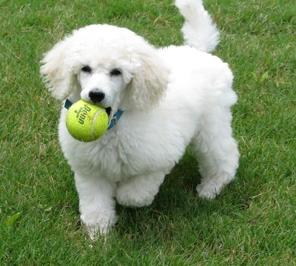 40-amazing-poodle-dog-puppy-pictures-11