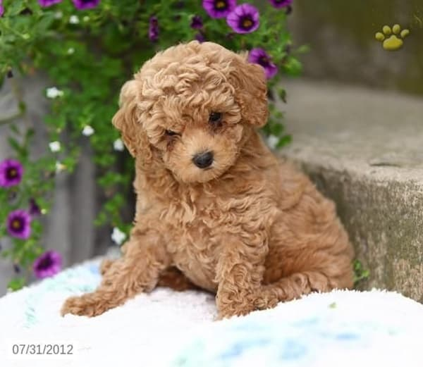 Toy Poodle Puppy Dogs : Amazing poodle dog puppies pictures tail and fur