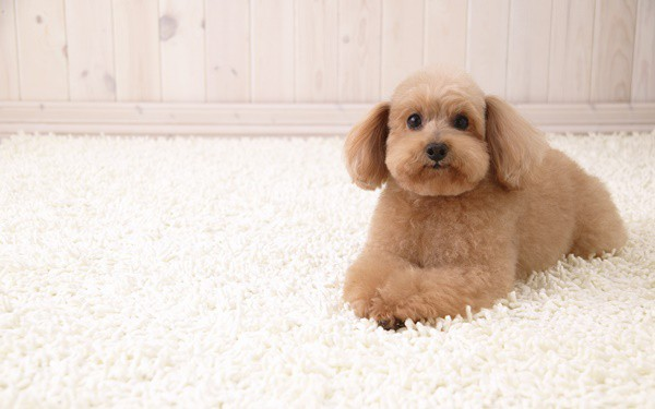 40-amazing-poodle-dog-puppy-pictures-15