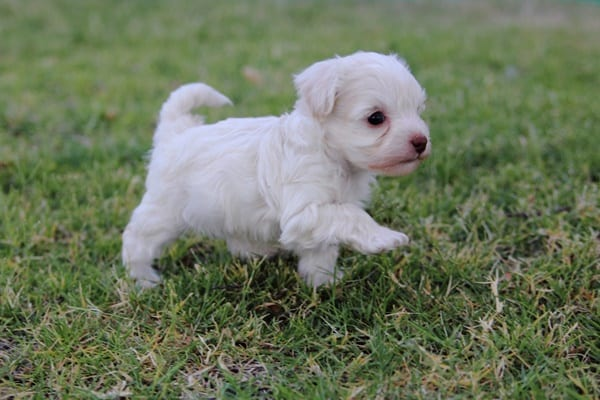 40-amazing-poodle-dog-puppy-pictures-16
