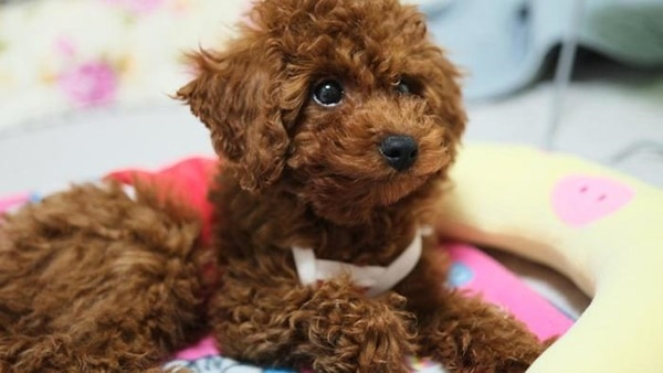 40-amazing-poodle-dog-puppy-pictures-17