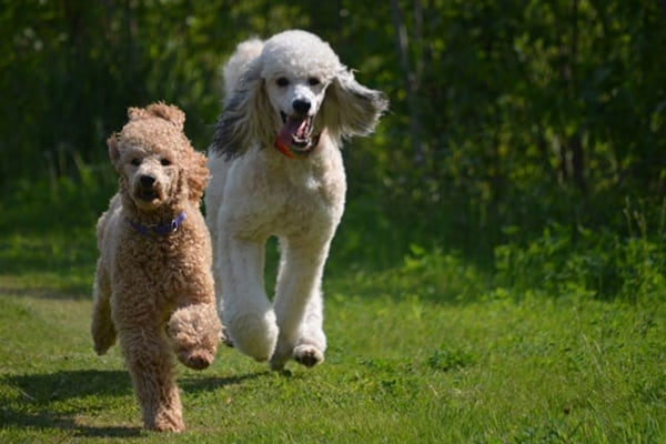 40-amazing-poodle-dog-puppy-pictures-18