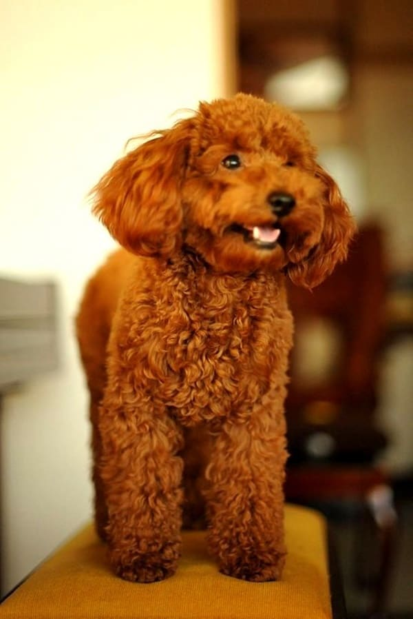 40-amazing-poodle-dog-puppy-pictures-23