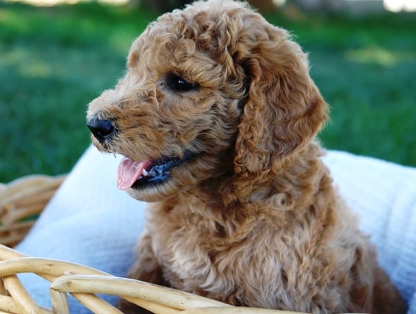 40-amazing-poodle-dog-puppy-pictures-24