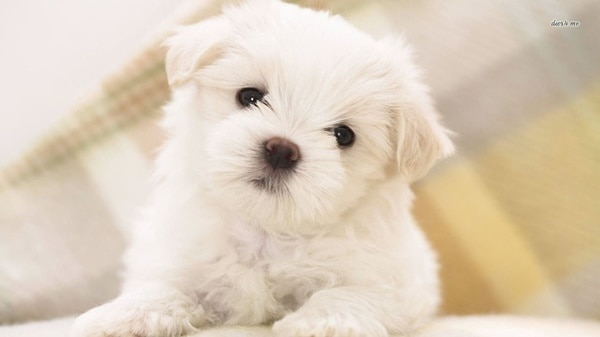 40-amazing-poodle-dog-puppy-pictures-26
