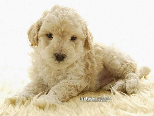 40-amazing-poodle-dog-puppy-pictures-27