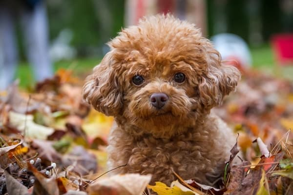 40-amazing-poodle-dog-puppy-pictures-29