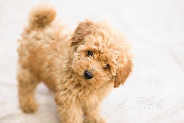 40-amazing-poodle-dog-puppy-pictures-3