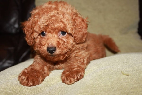 40-amazing-poodle-dog-puppy-pictures-30