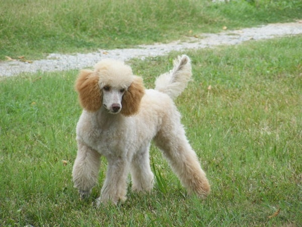 40-amazing-poodle-dog-puppy-pictures-31