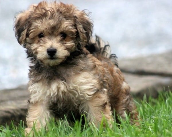 40-amazing-poodle-dog-puppy-pictures-33
