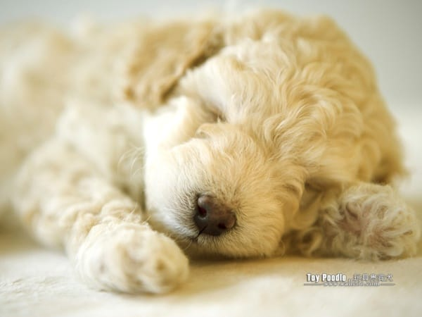 40-amazing-poodle-dog-puppy-pictures-35