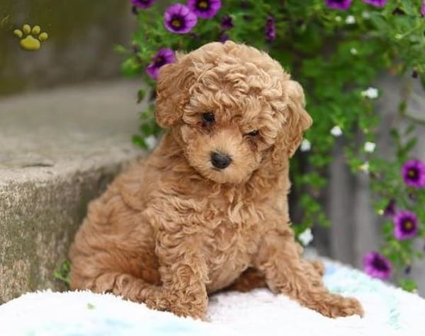 40 Amazing Poodle Dog Puppies Pictures Tail And Fur