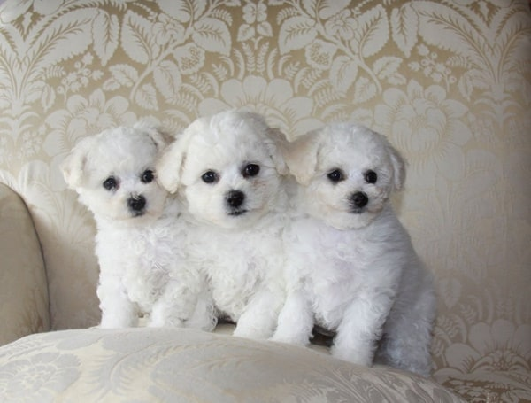 40-amazing-poodle-dog-puppy-pictures-37