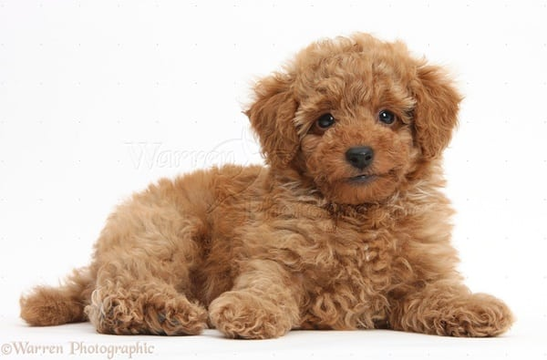 Cute red Toy Poodle puppy