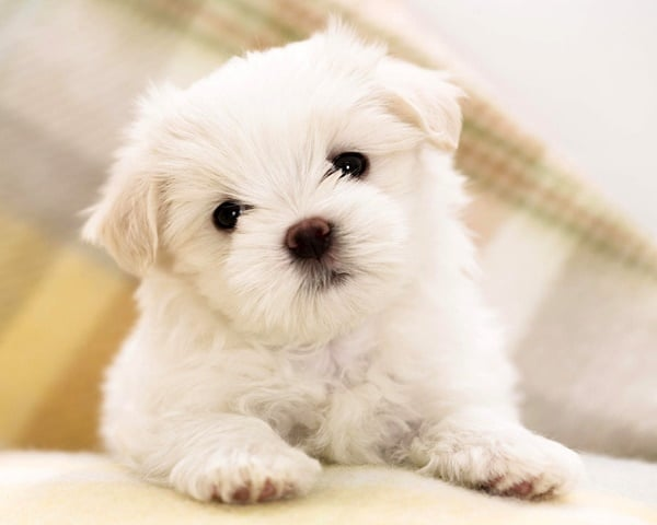 40-amazing-poodle-dog-puppy-pictures-5