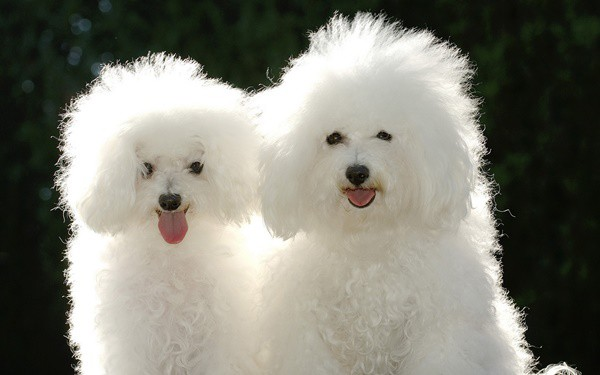 40-amazing-poodle-dog-puppy-pictures-7