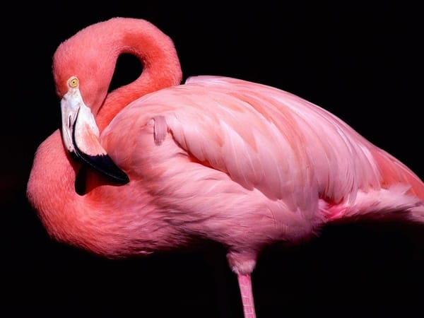 40-beautiful-pictures-of-pink-flamingo-birds-1