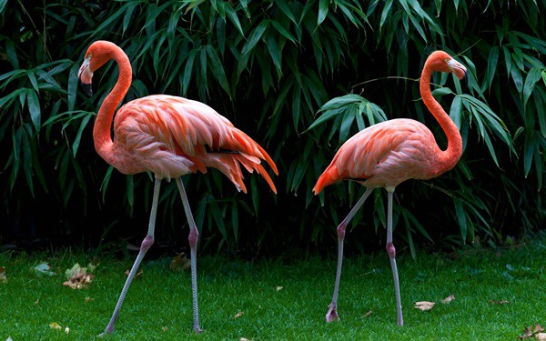 40-beautiful-pictures-of-pink-flamingo-birds-2