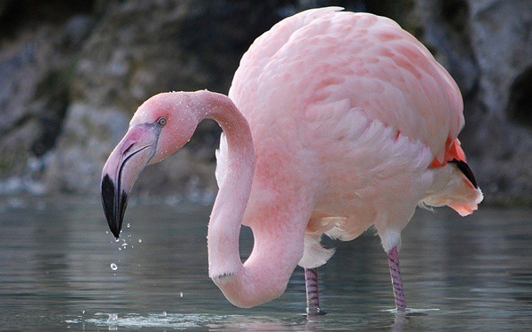 40-beautiful-pictures-of-pink-flamingo-birds-23