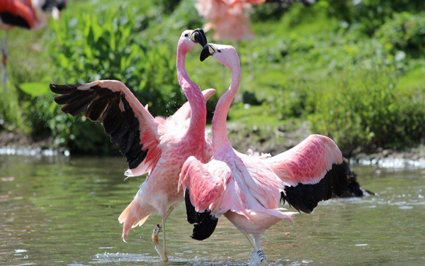 40-beautiful-pictures-of-pink-flamingo-birds-27