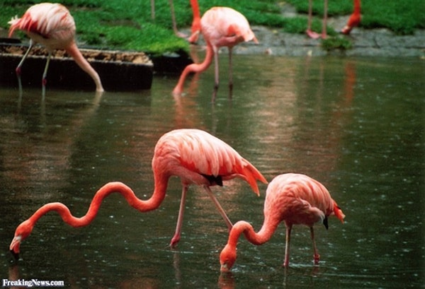 40-beautiful-pictures-of-pink-flamingo-birds-31