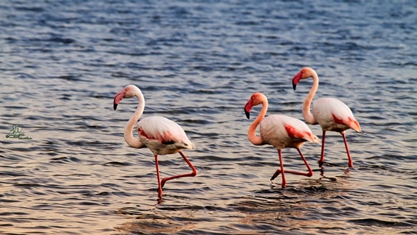 40-beautiful-pictures-of-pink-flamingo-birds-40
