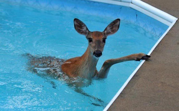 40-pictures-of-animals-chilling-in-pools-19