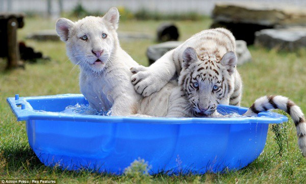 40-pictures-of-animals-chilling-in-pools-4