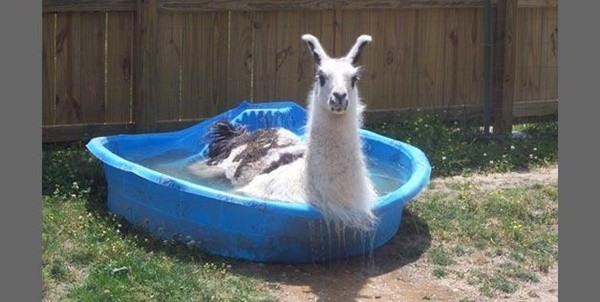 40-pictures-of-animals-chilling-in-pools-7