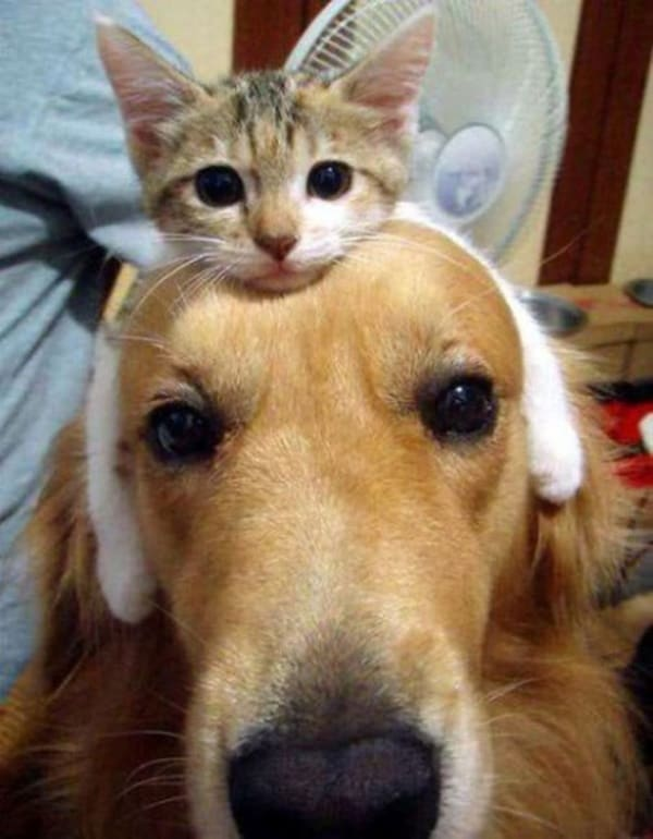 40-pictures-of-cats-on-tops-of-dogs-1
