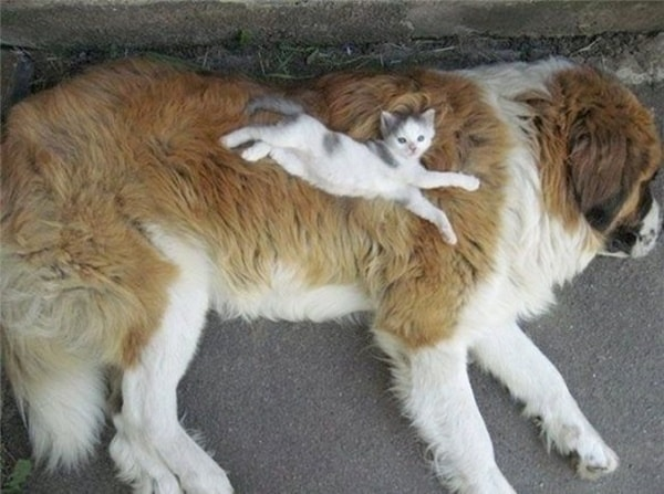 40-pictures-of-cats-on-tops-of-dogs-12