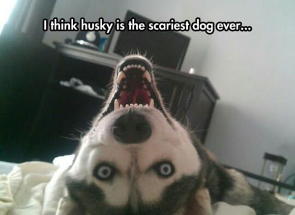 Some People Think The Scariest Part Is Coming To The: 40 Pictures Of Cute And Funny Husky Facial Expressions