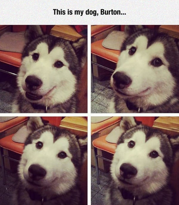 40-pictures-of-cute-and-funny-husky-faces-30