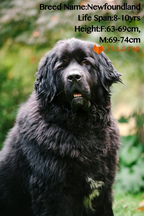 Breeds-of-Dogs-that-looks-like-Bears