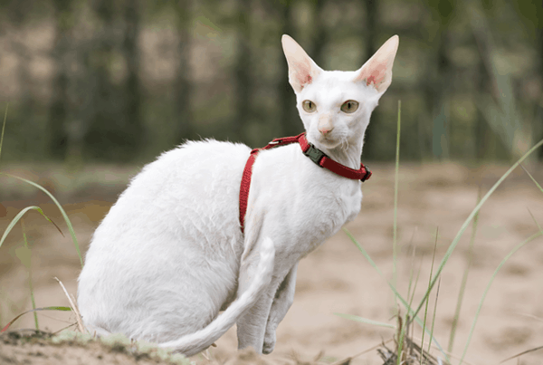 10-breeds-of-cat-that-stay-small-6